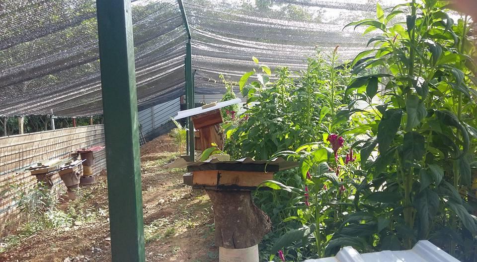 Sherwani Honey Bee